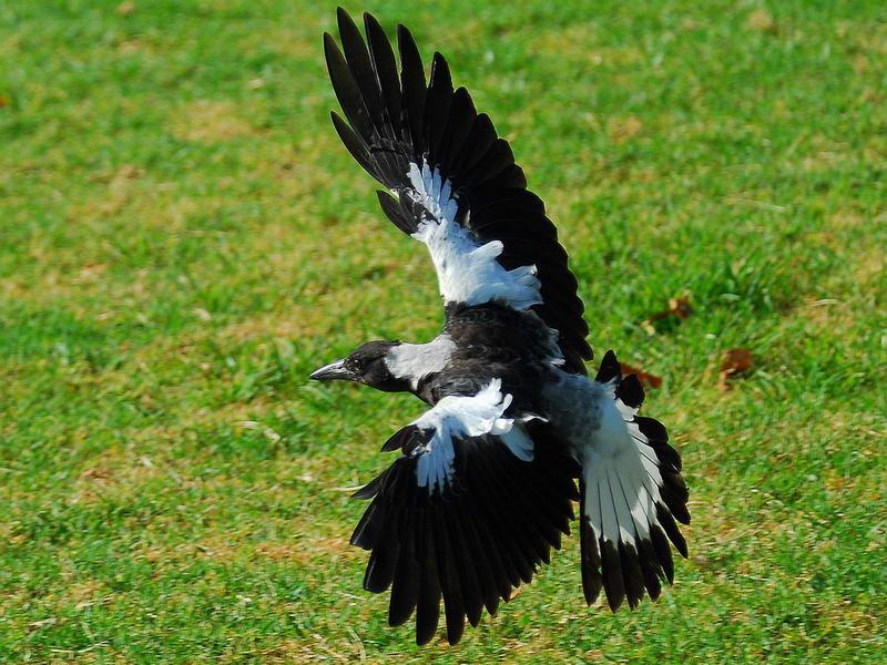 白乌鸦飞行
