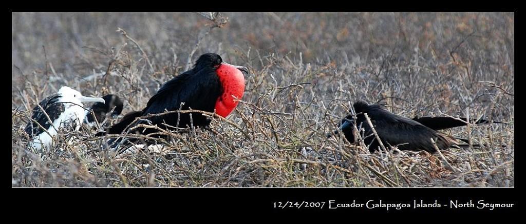 动物 鸡 1024_437图片