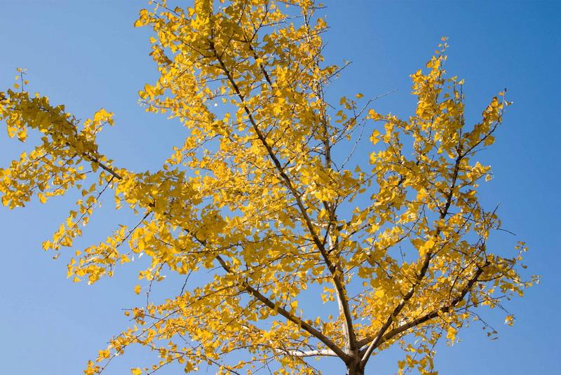 初冬的郑州之林银杏树图片