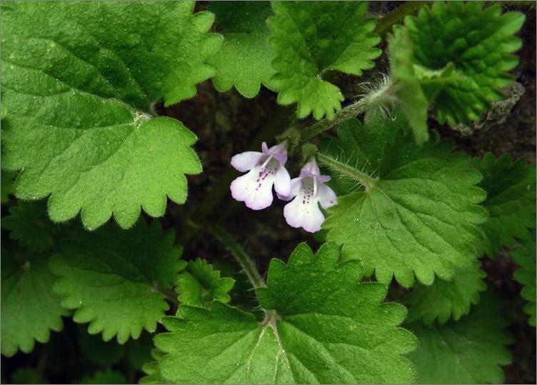 紫萼玉簪_青岛植物图谱 - 自然摄影