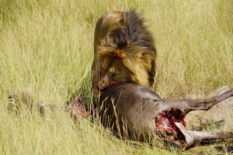 狒狒父亲狮子口下勇救幼崽_小狒狒不小心落单,母狮子抓到后竟然不吃它,狒狒父亲抓住机会救回了小