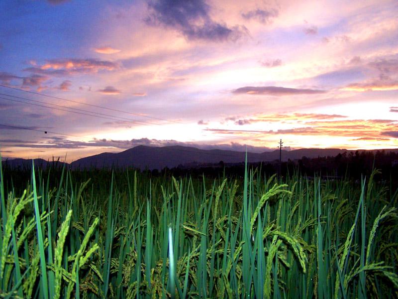 a123zj作品:稻田的傍晚