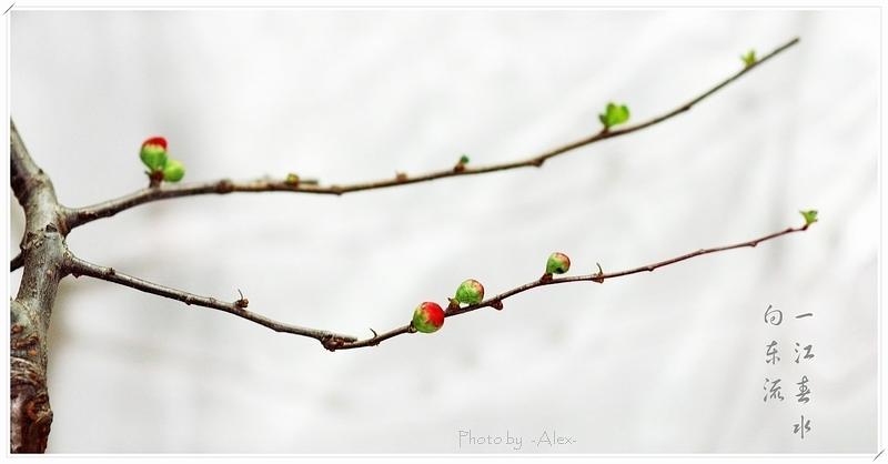 AlexTeng作品:含苞桃花
