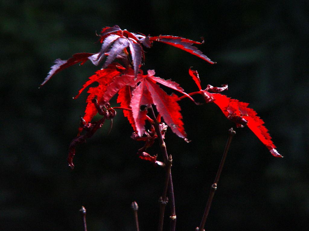 levinson作品:红叶