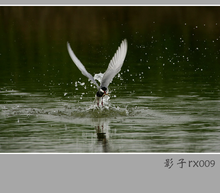 影子rx009作品:须浮鸥捕虾