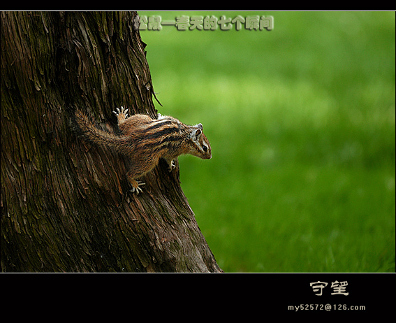 永远的小品作品:松鼠——春天的七个瞬间