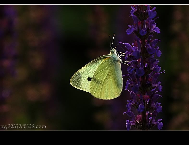永远的小品作品:一蝶小品