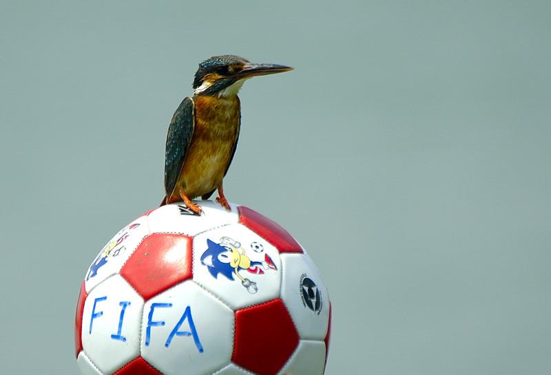 润物无声作品:翠鸟与足球
