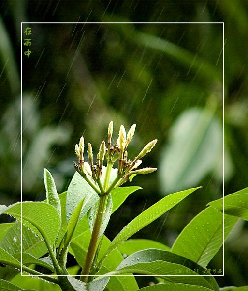 三月百合作品:在雨中