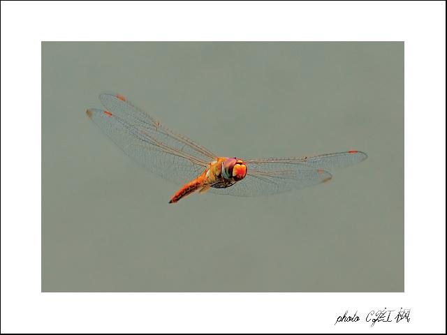 CZ红枫作品:飞舞的蜻蜓