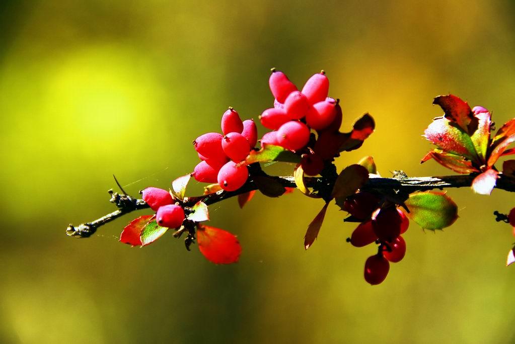 秋天是丰收的季节,山果红得是那样的喜人 -朗摄游摄影作品 山果