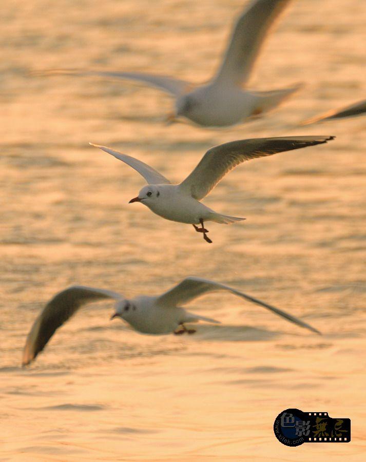 东方摄影爱好者作品:海鸥