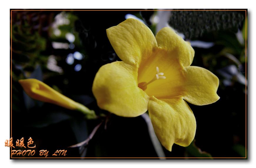 骊歌作品:暖色黄花