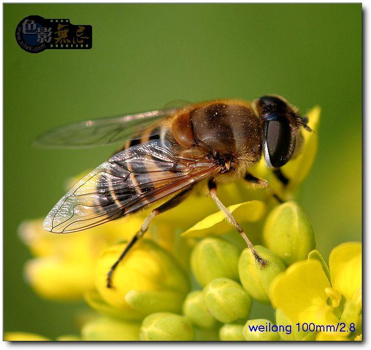 weilong作品:食蚜蝇