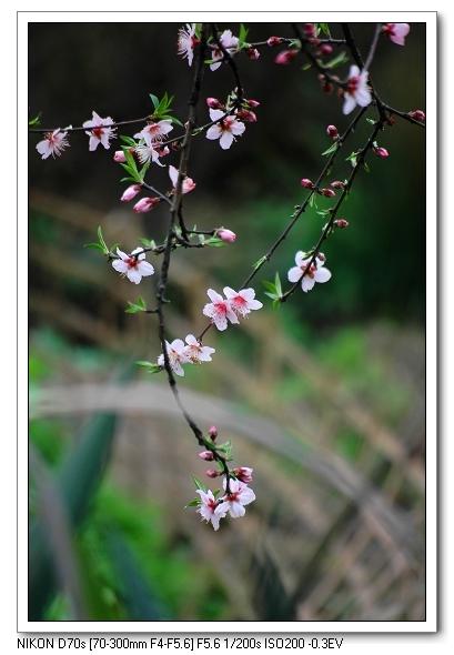 kxty作品:几枝桃花闹春来2