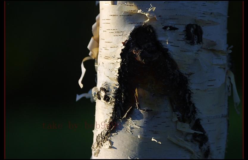 bob9696作品:树上长出的 黑猩猩