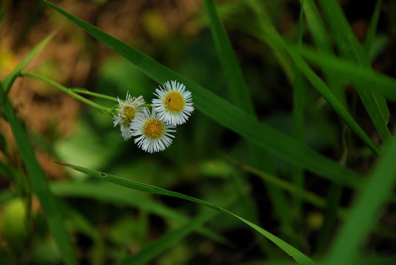 欣赏花儿凋零作品:野菊