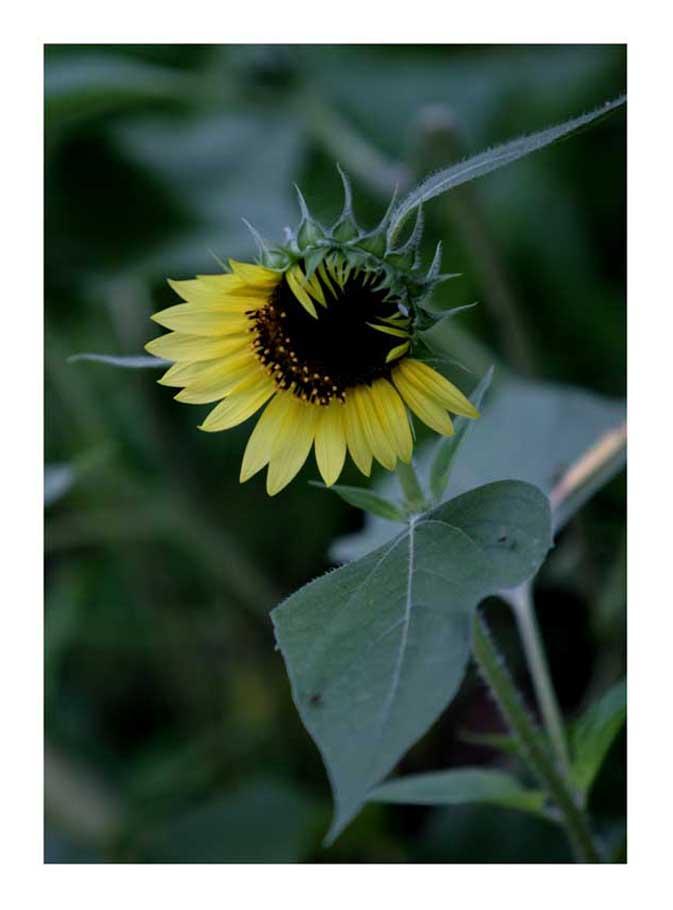 雷诺数作品:这也是向日葵
