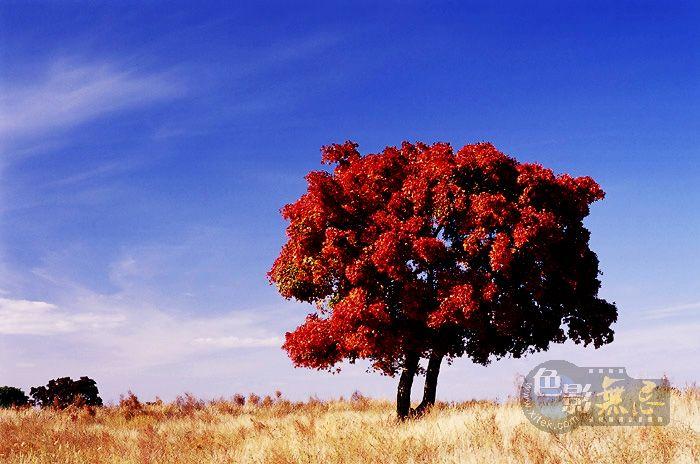 草原上的红枫树 -纸伞长衫摄影作品 草原红枫