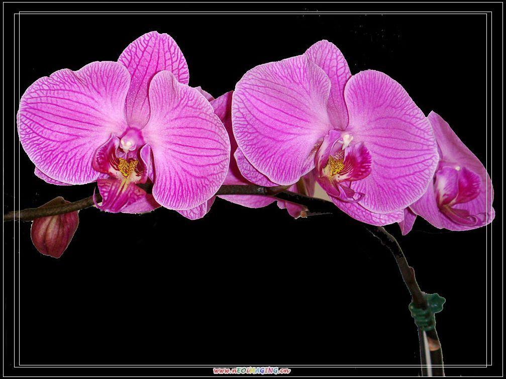 美一作品:我家的蝴蝶兰2