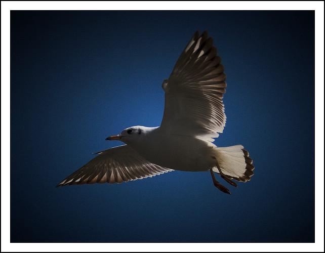 ashuzai作品:西伯利亚红嘴鸥