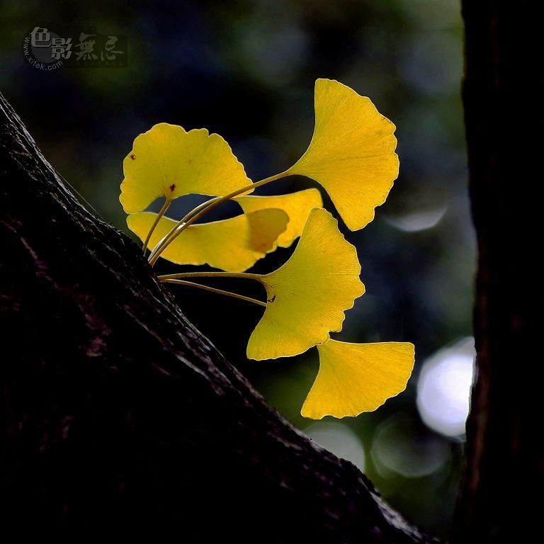 段头摄影作品 银杏 -深秋银杏树叶渐渐的变成金色 象征着金秋收获的