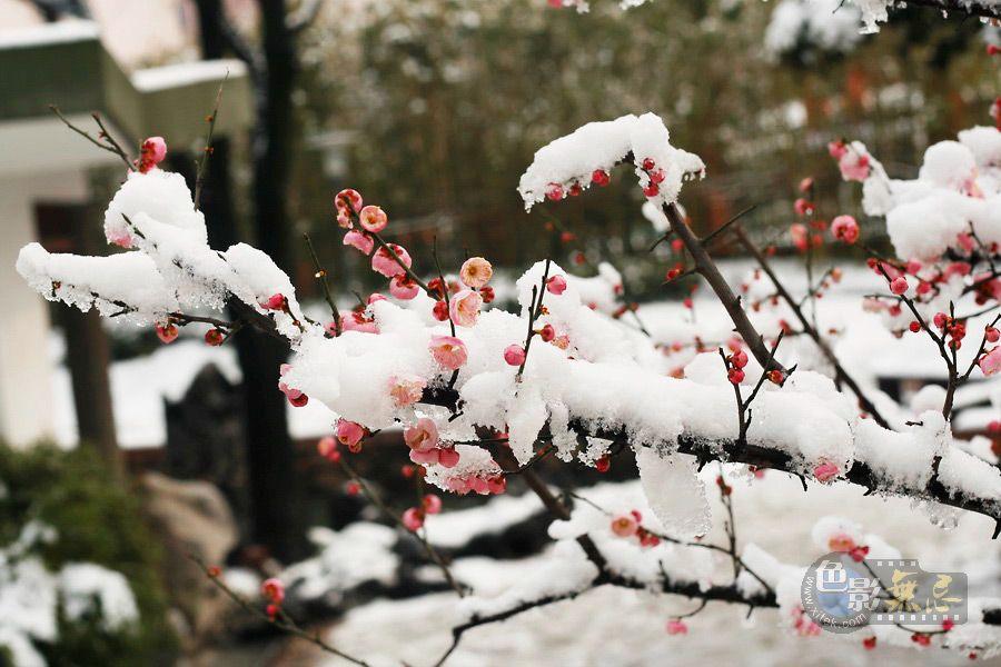 山顶小鹰作品:雪中红梅