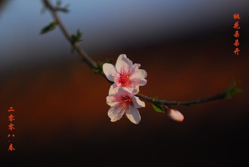 之水摄影作品 桃花朵朵开