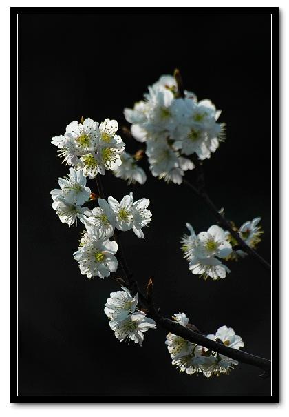 kxty作品:樱桃花