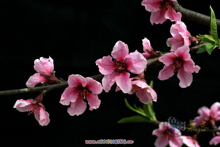 蹲点守侯作品:又见桃花三月间