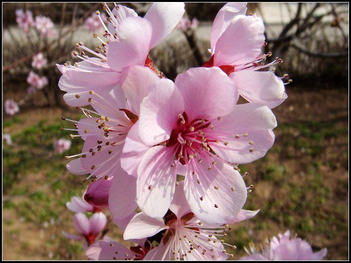 美一作品:桃花