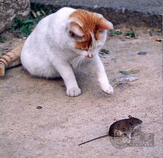 临风听海作品:花猫戏鼠