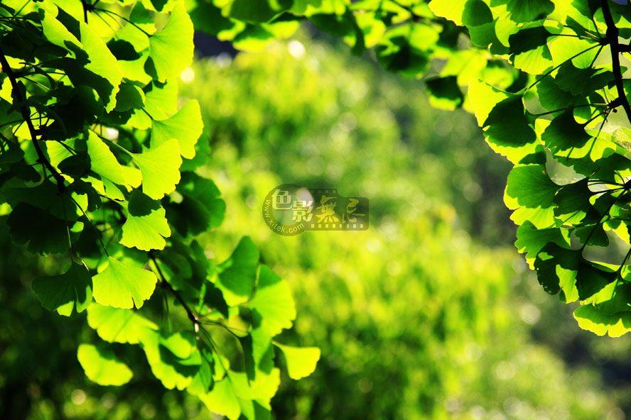 临风听海作品:银杏叶