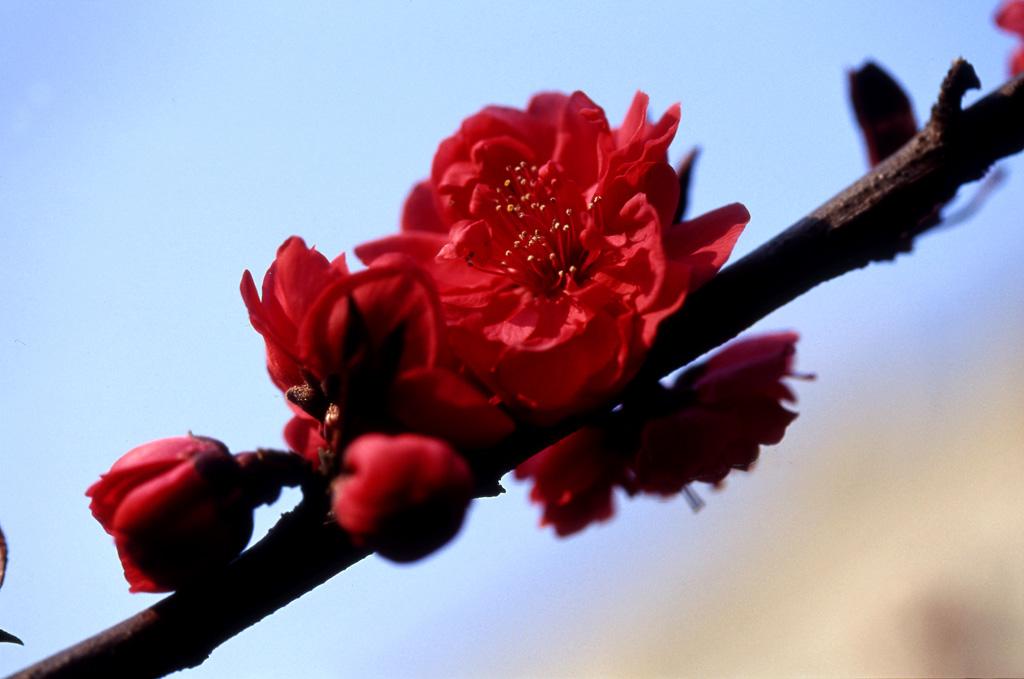 huxian作品:花卉-4