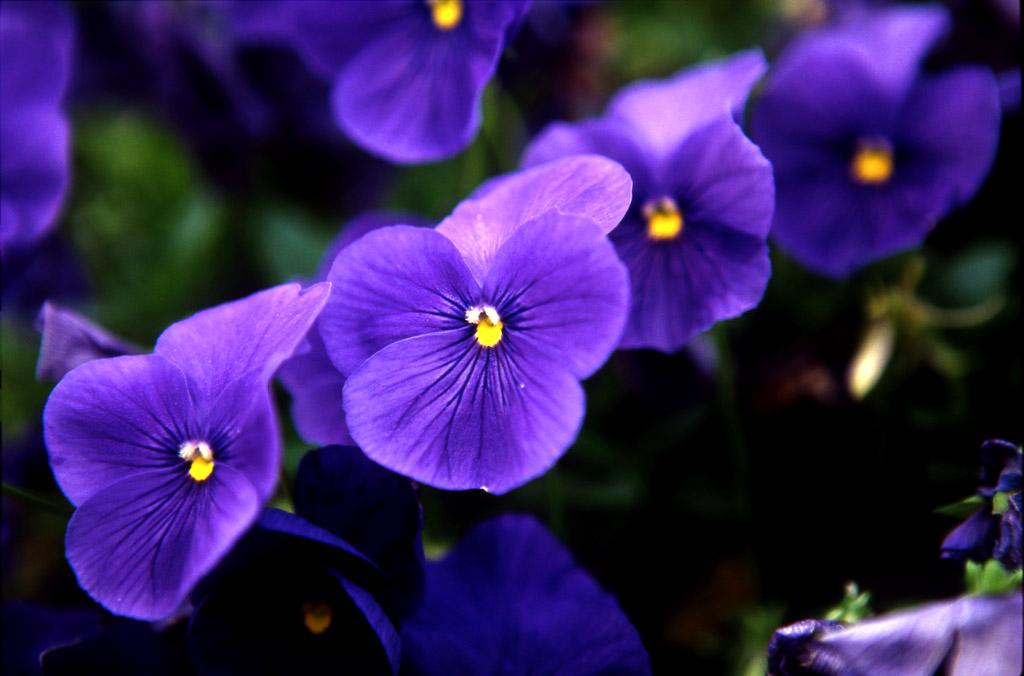 huxian作品:花卉-11
