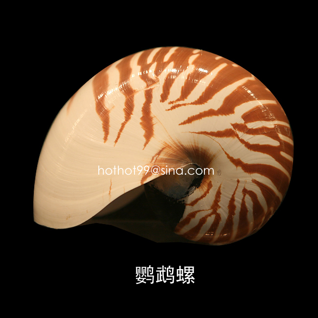 鹦鹉螺好象是非常珍贵的动物,为什么在海边经常看见有