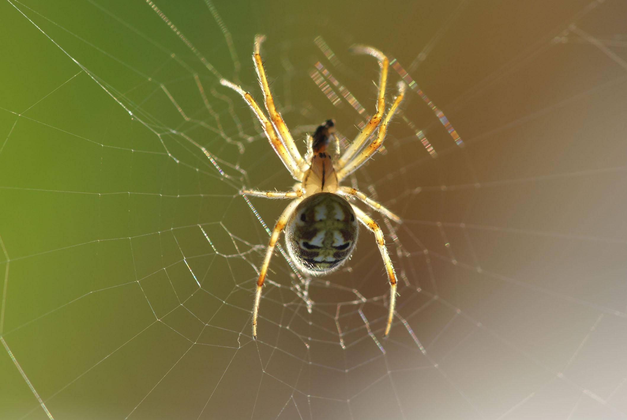 秋禾作品:蜘蛛