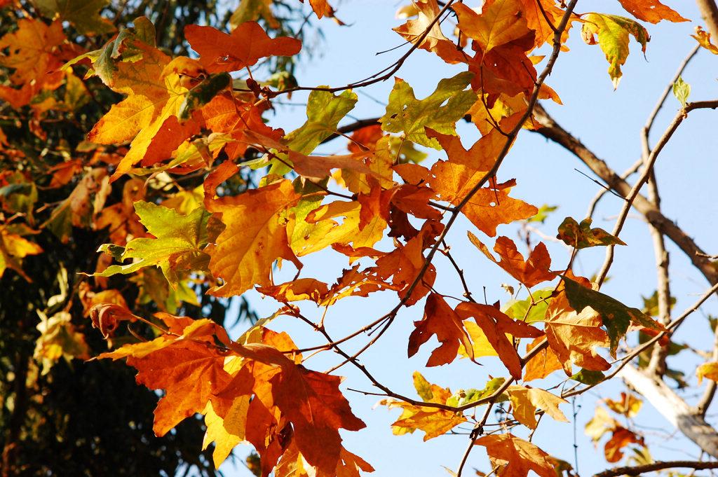 - 秋天的梧桐