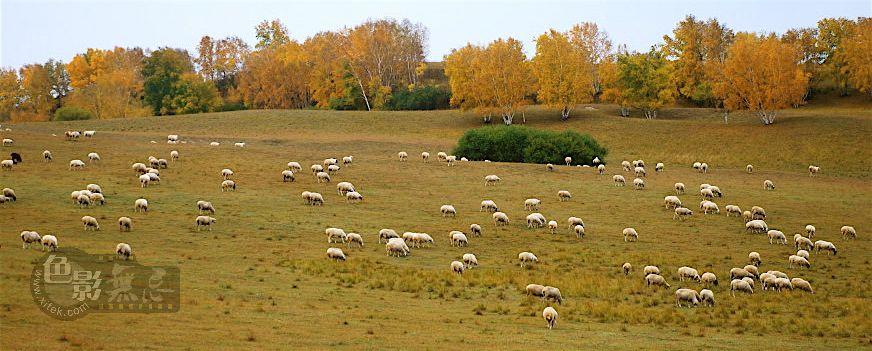 托斯卡那的一棵树作品:金秋坝上牧羊曲