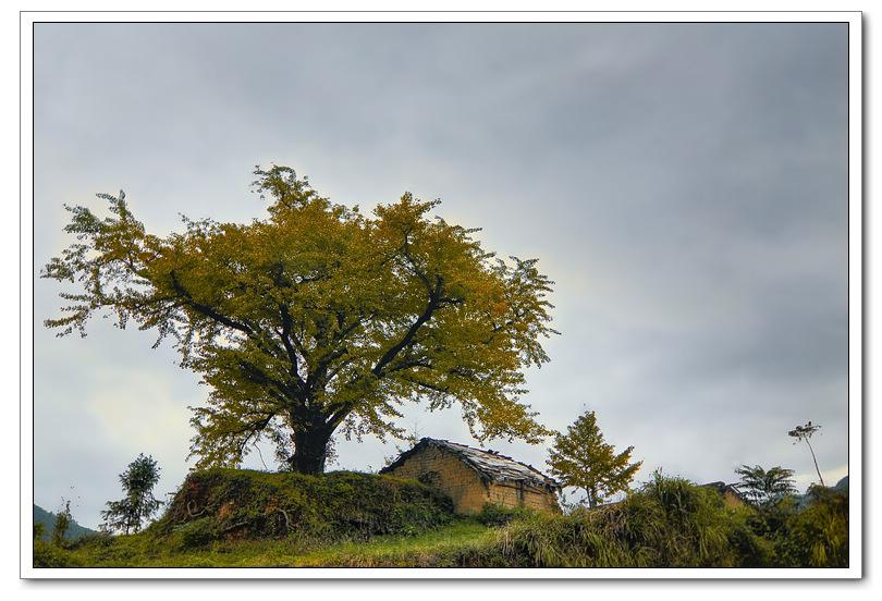 拍摄过程中发现一棵老银杏挺立在村口令人震撼