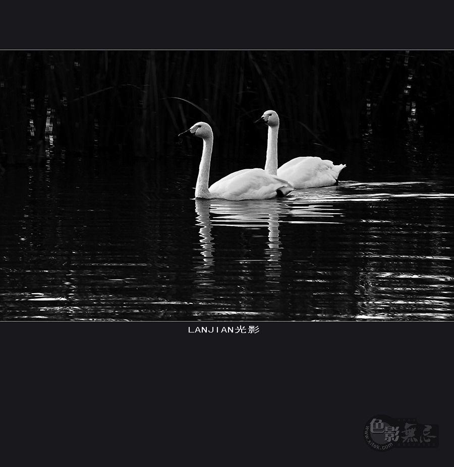 08摄影作品 两只天鹅图片