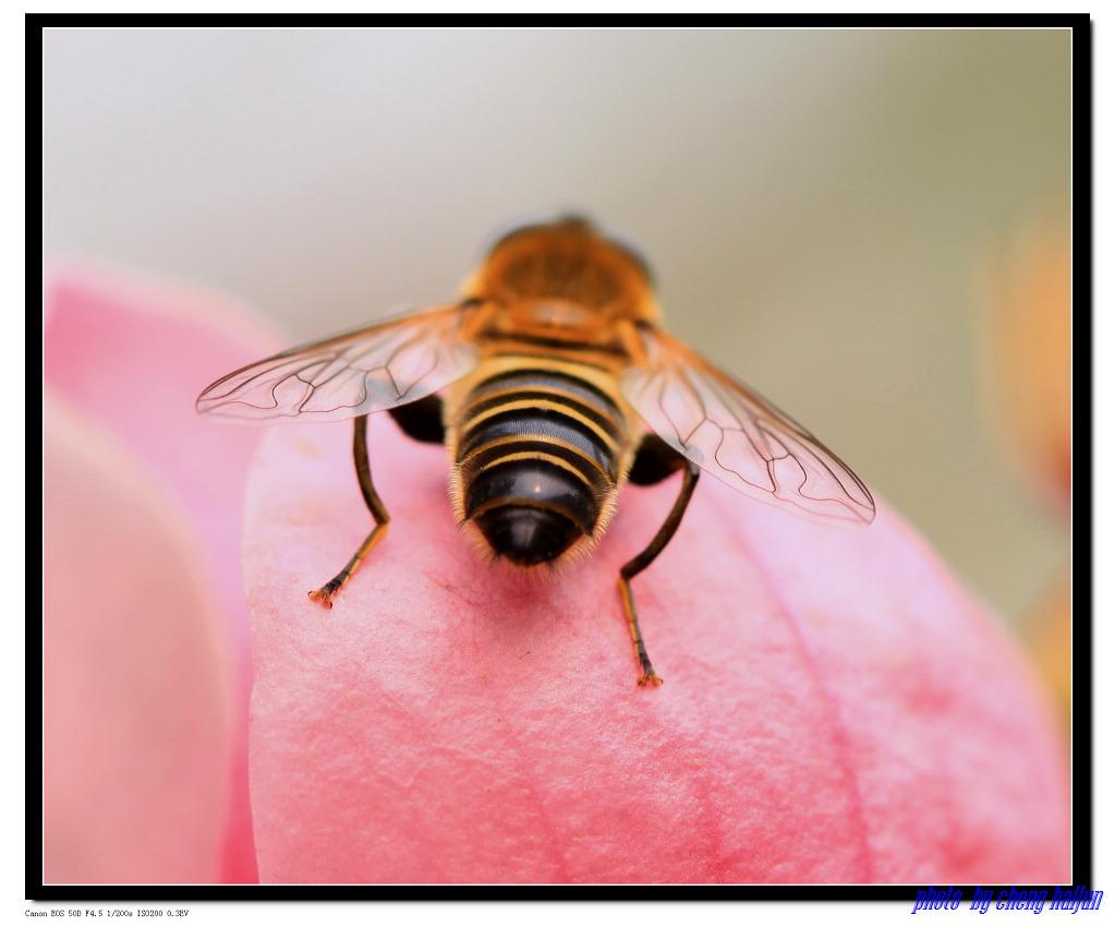 小程的故事作品:蜜蜂的屁股