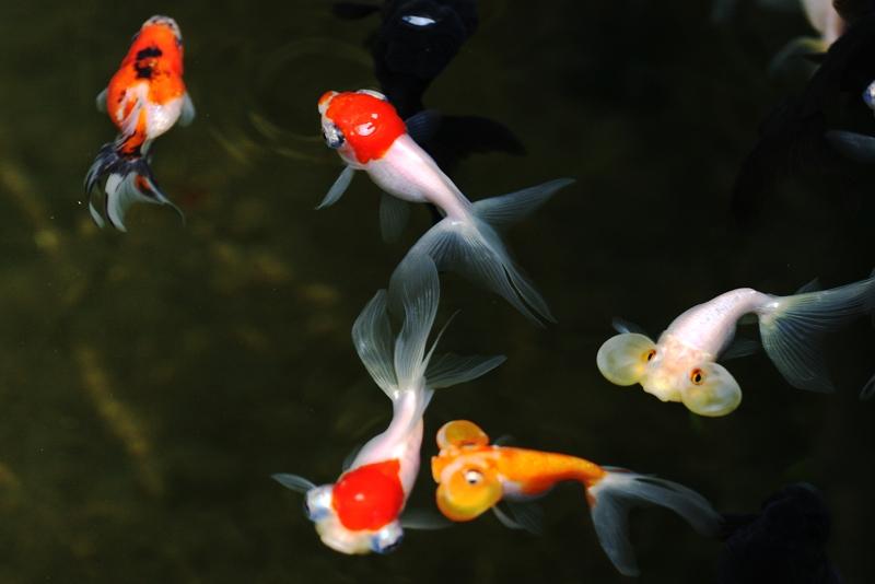 曼曼作品:小金鱼儿
