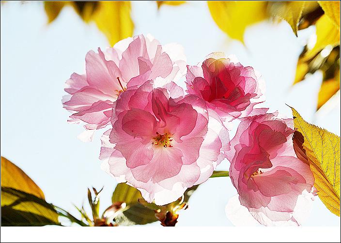 爱吃黄瓜作品:樱花