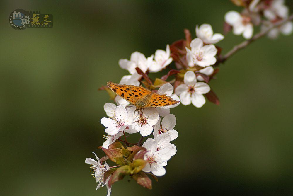 了扎咧作品:蝶恋花