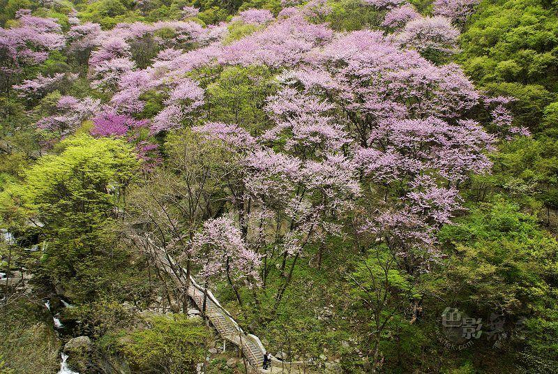 了扎咧作品:满山尽带紫荆花(组图)