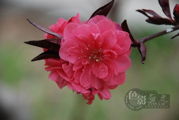chenanne作品:春满枝头