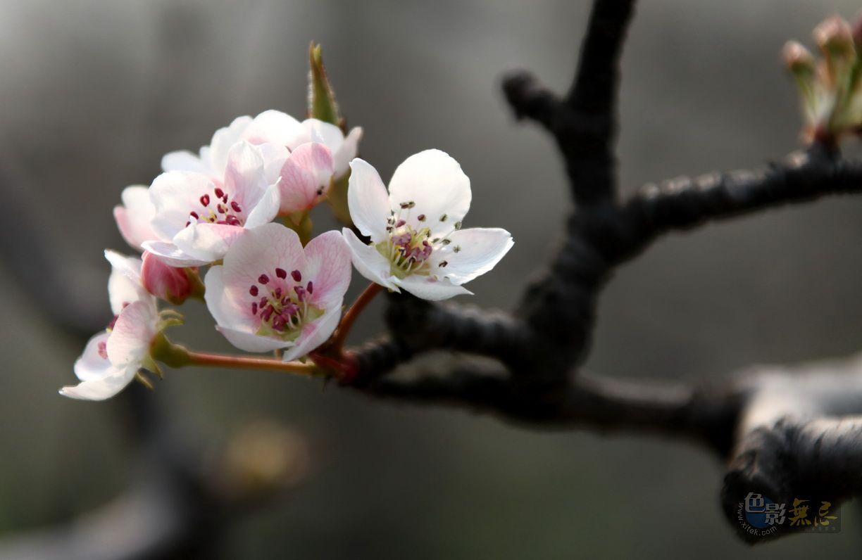 yhp4040588作品:漂亮的枣梨花