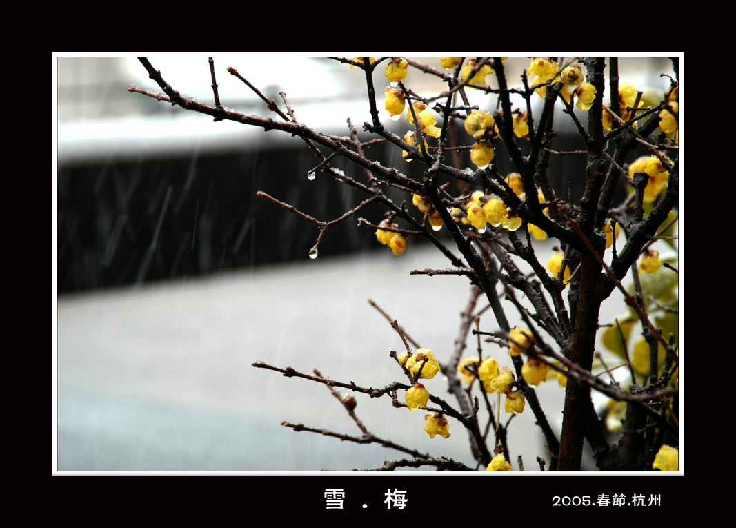名朝风作品:冬梅