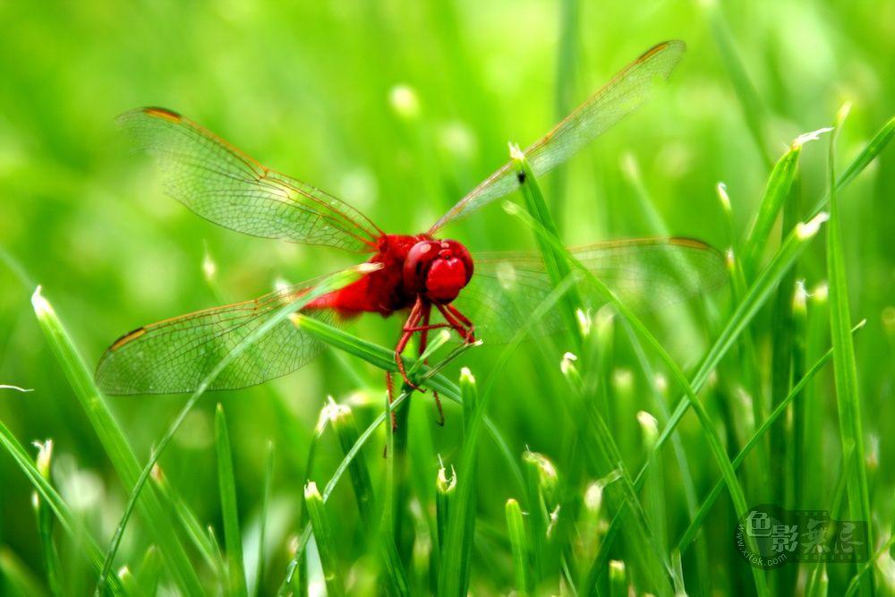 yhp4040588作品:大红蜻蜓
